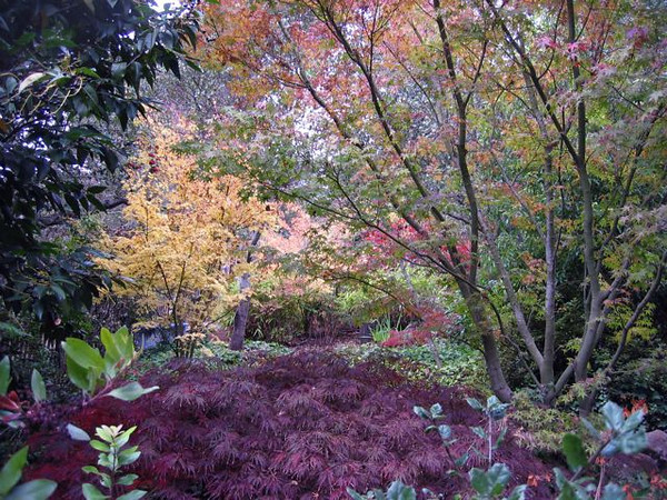 A cool spring morning, the Japanese Maples blend and complement each other.