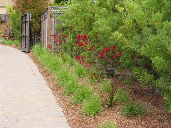 A closer look at the ornamental grasses and the 'Kangaroo Paws.'