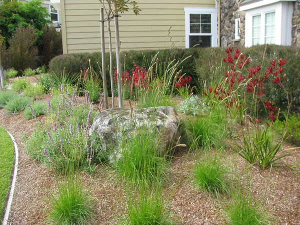 A view of the various ornamental grasses and other 'Kangaroo Paws' surrounding one of the large new boulders.