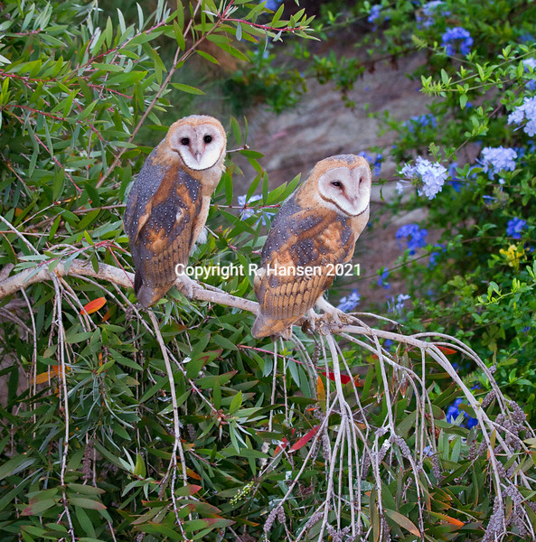 two owls in morning_MG_5697