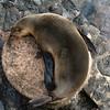 Yin Yang Sea Lion