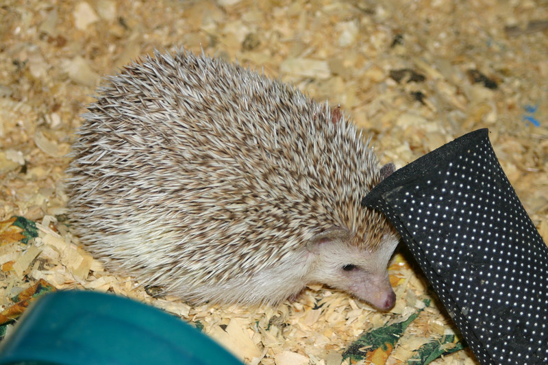 Hedgehogs Playing in the Pool (10/27/2004)  Hedgehogs Playing in the Pool (10/27/2004)  Filename reference: 20041027-003028-HAH-Hedgehogs_Playing_in_the_Pool-SM