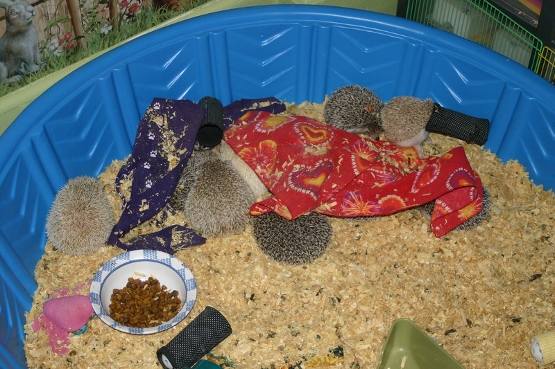 Hedgehogs Playing in the Pool (10/27/2004)  Hedgehogs Playing in the Pool (10/27/2004)  Filename reference: 20041027-002246-HAH-Hedgehogs_Playing_in_the_Pool-SM