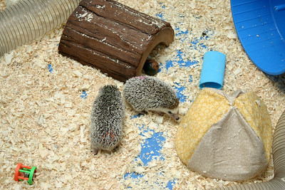 Hedgehogs Playing in the Pool (03/22/2004)  Hedgehogs Playing in the Pool (03/22/2004)  Filename reference: 20040322-194155-HAH-Hedgehogs_Playing_in_the_Pool-SM