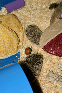 Hedgehogs Playing in the Pool (03/22/2004)  Hedgehogs Playing in the Pool (03/22/2004)  Filename reference: 20040322-194101-HAH-Hedgehogs_Playing_in_the_Pool-SM