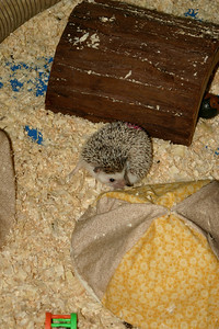 Hedgehogs Playing in the Pool (03/22/2004)  Hedgehogs Playing in the Pool (03/22/2004)  Filename reference: 20040322-194106-HAH-Hedgehogs_Playing_in_the_Pool-SM