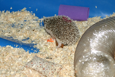 Hedgehogs Playing in the Pool (03/22/2004)  Hedgehogs Playing in the Pool (03/22/2004)  Filename reference: 20040322-194849-HAH-Hedgehogs_Playing_in_the_Pool-SM