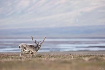 Svalbardren