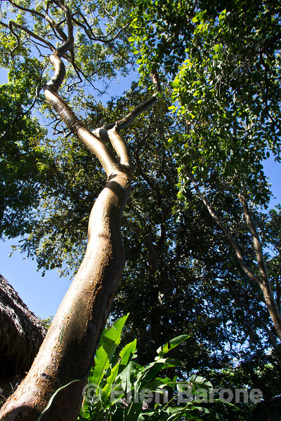 Bursera simaruba, commonly known as the gumbo-limbo or 'tourist tree' because of its red peeling bark, Jicaro Island Ecolodge, Lake Nicaragua.