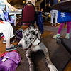 Fiona, a Great Dane from the therapy pet group TheraPaws, hangs out during the community resource fair at the Fitchburg Senior Center on Thursday evening. SENTINEL & ENTERPRISE / Ashley Green