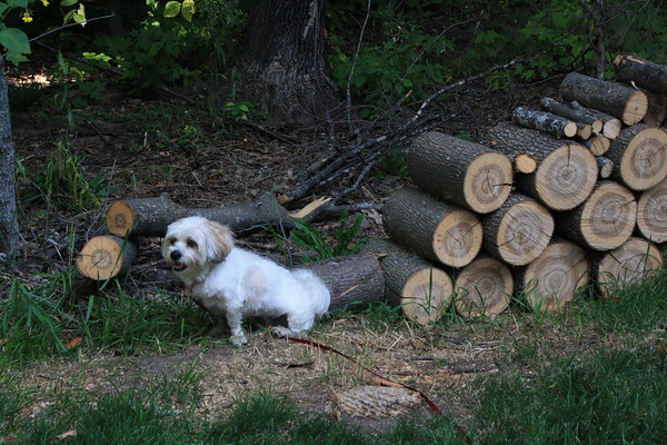 At The Cabin.  September 6, 2009.  No I'm not doing my business, I am holding up that pile of logs!  April is my name.