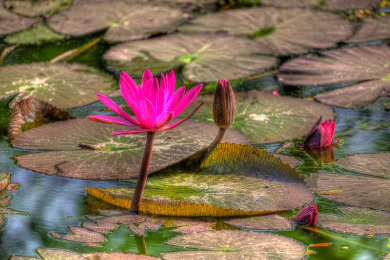 Water Lilly, Dhaka, Bangladesh