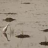 Egrets, Bikrampur, Bangladesh