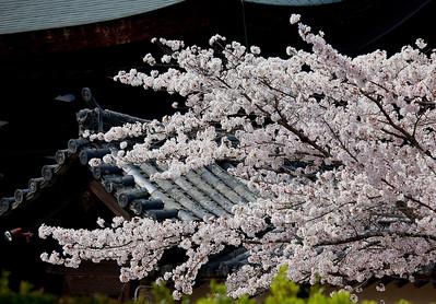 Sakura at Osaka
