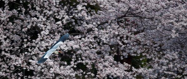 Cherry Blossom at Osaka