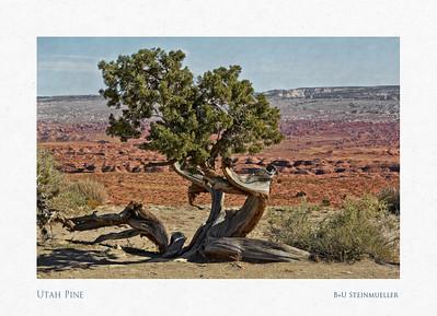 Utah Pine