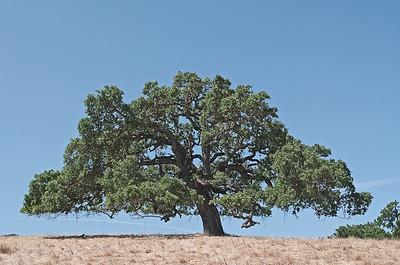 San Juan Bautista Oak Tree
