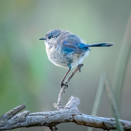 Fairy Wren Dream - Robert Woodbury