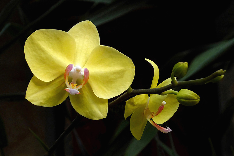 Yellow Orchids - Phil Burrows
