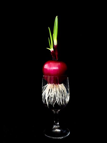 Cocktail Onion - Ann Jones