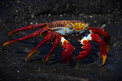 Red Crab - Steve Crossley