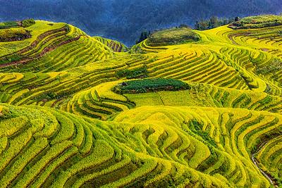 Curvaceous Rice Terraces - Susan Moss