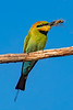 Rainbow Bee Eater - Sybille Bonow