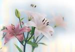 Pink Lillies - Dita Hagedorn