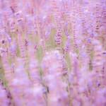 Lavender - Cec Sylwestrzak