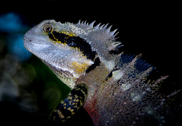 Water Dragon Lizard - Steve Brown