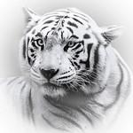 White Tiger - Sybille Bonow