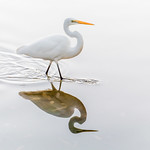 Jackadder Egret - Richard Goodwin