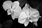 White Orchids - Phil Burrows