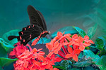Exotic Butterfly - Sybille Bonow