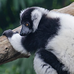 Ruffed Lemur - Sybille Bonow