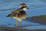 Black Fronted Dotterel - Fred Armstrong