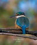 Kingfisher - Sybille Bonow