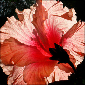 Hibiscus Flower - Hans Wellinger Second Place Members' Choice and Highly Commended by the judge.