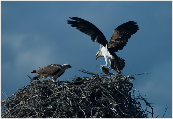<b>Ospreys</b> - Ann Storrie Fifth place members' choice