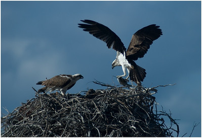 Ospreys - Ann Storrie Fifth place members' choice