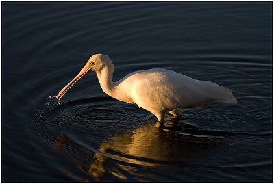 Spoonbill - Ann Storrie Set Subject - Second place judge's choice