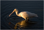 <b>Spoonbill</b> - Ann Storrie Set Subject - Second place judge's choice