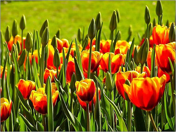 Tulips - Dean Craig<br /> Fourth place members' choice