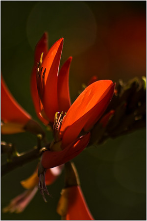 Flame Tree - Martin Yates<br /> Fourth Place members' Choice.