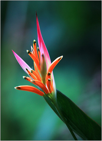 Helaconia - Sheila Burrow<br /> Equal second place Judge's choice and equal fifth place members' choice.