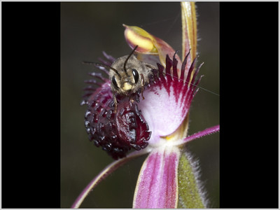 Native Bee on Spider Orchid - Ann Storrie Sixth place members' choice