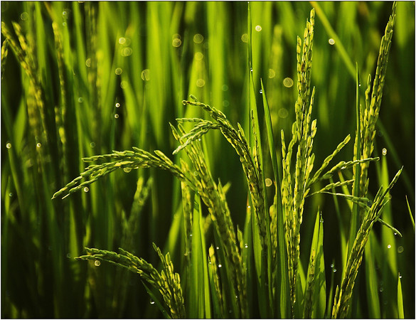 Rice in the Morning - Kim McAvoy<br /> Second place judge's choice and Sixth place members' choice