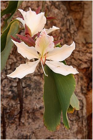 My Bauhenia Flowering - Lee Bickford<br /> Set - Second place judge's choice
