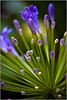 Agapanthus - Ray Ross<br /> First place members' choice Open