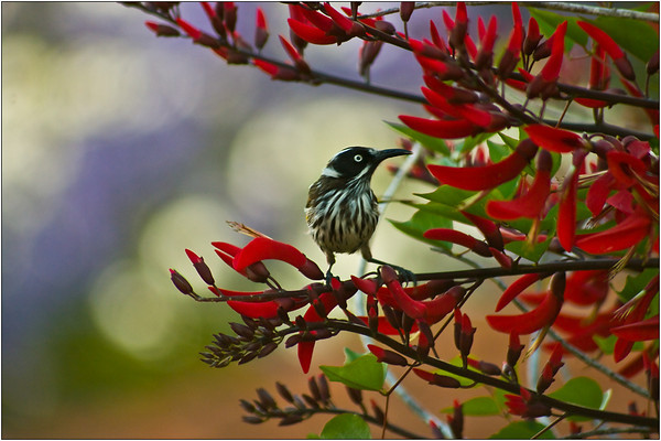 New Holland Honeyeater - Martin Yates<br /> Fourth place members' choice